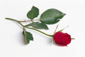 single-red-rose sized